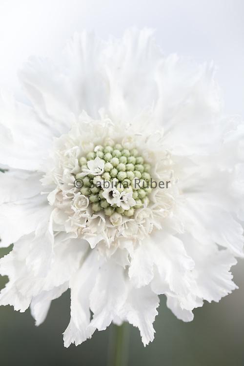 Scabiosa caucasica 'Perfecta Alba' - Caucasian scabious