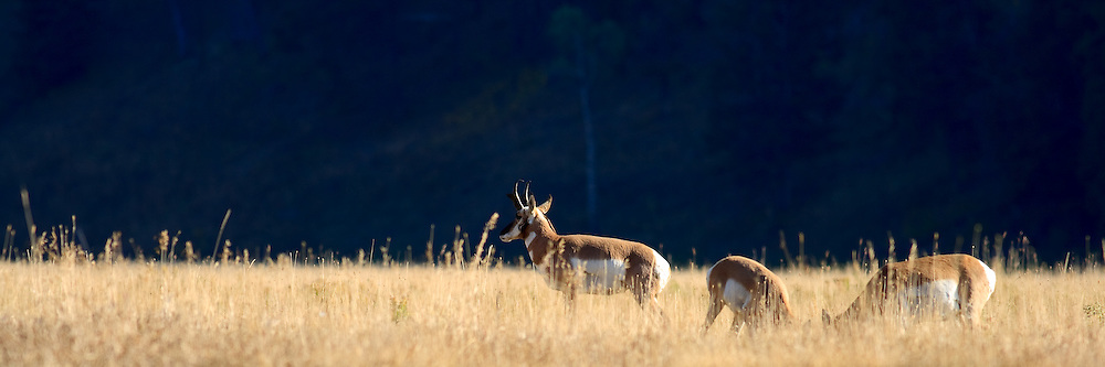 Pronghorn antelope graze in Yellowstone's fall grasses.