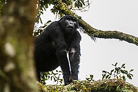 Pregnant mother mountain gorilla in the trees, Bwindi Impenetrable Forest National Park, Uganda.               Bwindi Impenetrable Forest contains 400 Mountain Gorillas, half the world's population of Mountain Gorillas. It is a World Heritage Site.<br /> <br /> The Bwindi Impenetrable Forest is a large primeval forest located in south-western Uganda in the Kanungu District. The forest is on the edge of the Albertine Rift, the western branch of the East African Rift, at elevations ranging from 1,160 to 2,607 metres (3,806 to 8,553 ft).