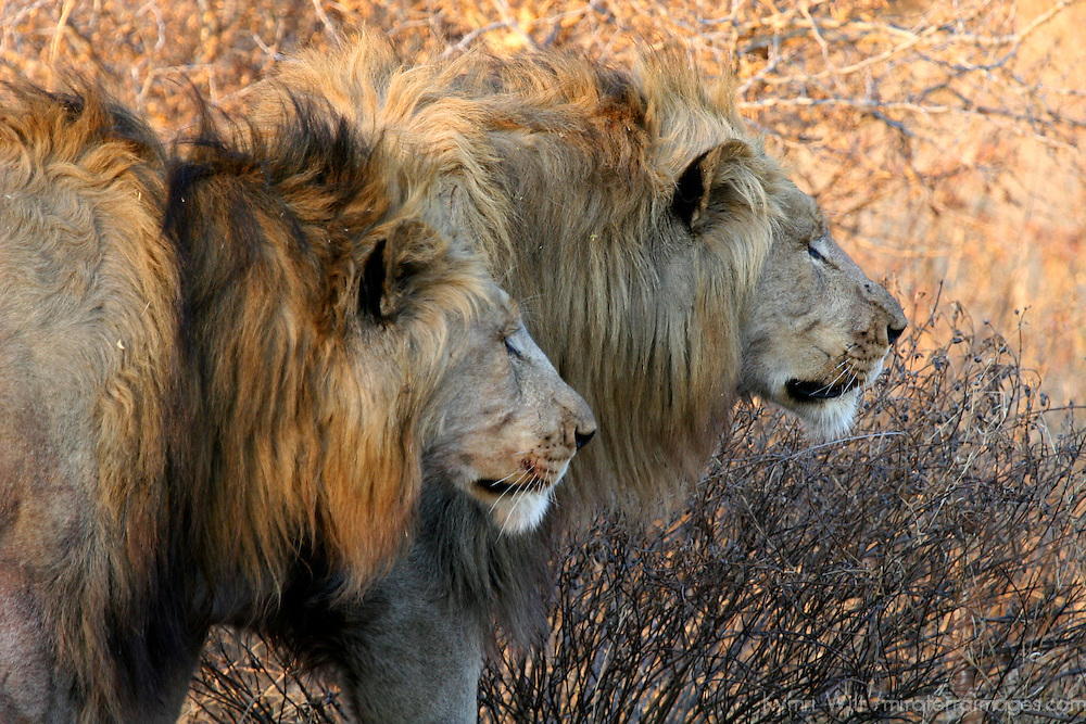 Afrca, South Africa, Madikwe Game Reserve. A couple of male lions, brothers, pair up to stalk and hunt together at Madikwe.