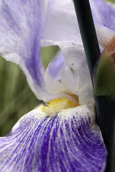 Flowers - Iris - purple and white