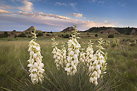 Soapweed Yucca (Yucca glauca) in the Terry Badlands Montana