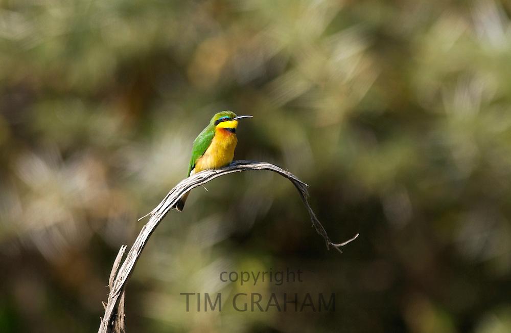 Little Bee-eater,  Ngorongoro, Tanzania, East Africa