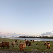 Nederland Strijen Sas Hoeksche Waard 2 februari 2013 20130202 Foto: David Rozing Schotse Hooglanders grazen op open landelijk gebied in beschermd landschap Hoeksche Waard.  Wildernisvlees is het vlees van Schotse Hooglanders. Deze dieren hebben hun hele leven in deze natuurgebieden rondgelopen in kuddes met een natuurlijke samenstelling. Ze hebben zelf hun menu kunnen samenstellen uit de vele plantensoorten die de gebieden rijk zijn. FREE werkt samen met het Hoekschewaards Landschap om in het natuurbezoekerscentrum Klein Profijt wildernisvlees in de Hoeksche Waard en omgeving te verkopen. Door het eten van wildernisvlees steunt u de natuurontwikkeling van FREE en het Hoekschewaards Landschap! Ze zijn uitgezet door Free (Foundation for Restoring European Ecosystems).Diervriendelijk..Onze kudde loopt vrijwel altijd buiten, hier voelen de Schotse Hooglanders zich het beste thuis. De runderen groeien op eigen natuurlijk tempo en worden daardoor op latere leeftijd geslacht dan soortgenoten uit de reguliere veehouderij..Kalfjes worden gewoon in de kudde geboren en groeien op bij hun moeder en de andere kuddegenoten..Onze slager zit in de regio; de Hooglanders hoeven niet over een lange afstand vervoerd te worden. Het verzorgen, vangen en slachten van de dieren verloopt met zo weinig mogelijk stress en met veel respect voor het dier..Duurzaam.Een belangrijk verschil tussen onze werkwijze en de reguliere en zelfs biologische veehouderij is dat wij geen krachtvoer (graan en soja) bijvoeren. Krachtvoer moet namelijk van ver geïmporteerd worden en de verbouw van soja en graan draagt bij aan de ontbossing van regenwoud. In plaats van krachtvoer eten onze koeien het gras en de kruiden die in de natuurgebieden groeien waar ze lopen. Deskundigen zijn het erover eens dat de milieubelasting hierdoor erg laag blijft, of te wel weinig zogenaamde foodmiles ..De inzet van Schotse Hooglanders in natuurgebieden zorgt ervoor dat de gebieden hun open karakter blijven behouden. Begrazing is