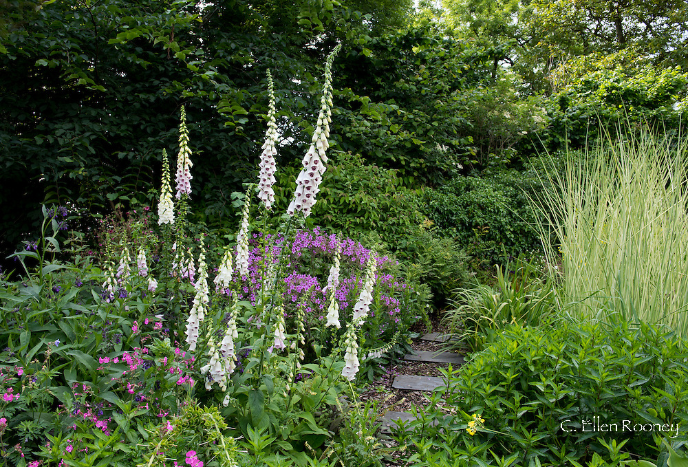 Digitalis 'Pam's Choice' a purple and white foxglove, Silene dioica (Red Campion) and Miscanthus 'Cosmopolitan' around stone stepping stones in Derry Watkin's Special Plants Garden in Cold Ashton, Chippenham, Somerset, UK