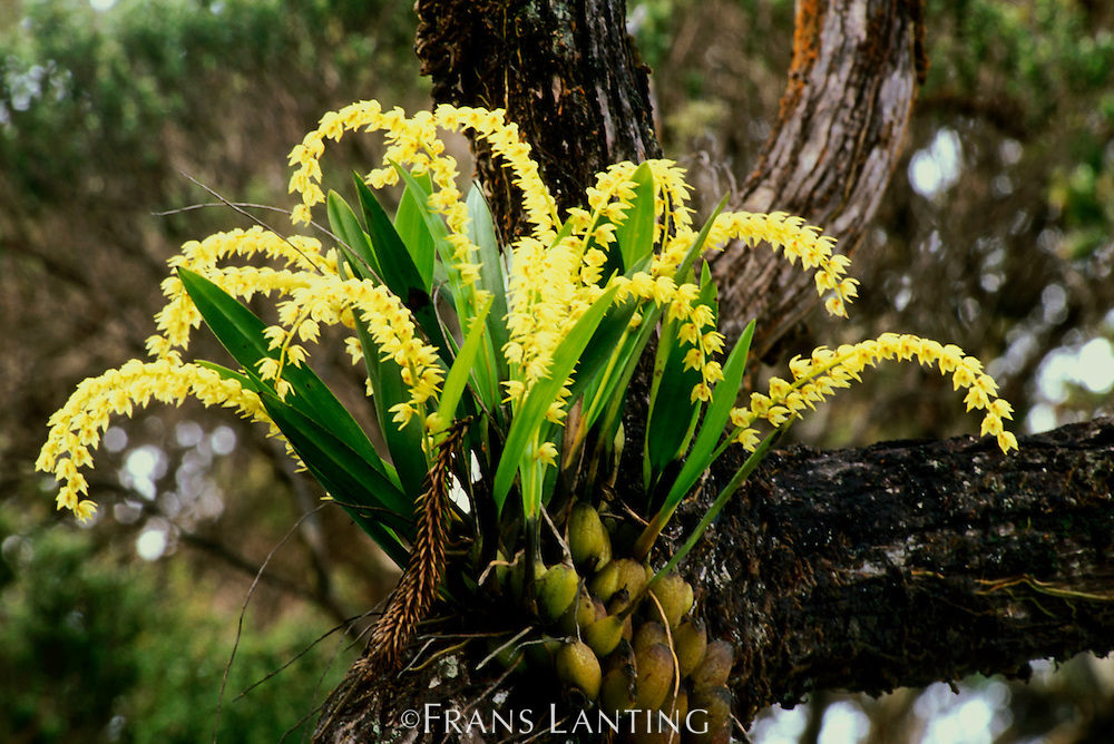 Orchid, Mt Kinabalu National Park, Sabah, Borneo