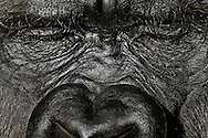 Gorilla, Western Lowland Gorilla (Gorilla gorilla gorilla) .Portrait, Close-up of a sitting, dozing after eating gorilla female...Gorilla, Westlicher Flachlandgorilla (Gorilla gorilla gorilla).Portrait, Close-up eines im Sitzen, nach dem Fressen eingenickten Gorilla-Weibchens..