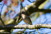 Fringilla Coelebs- chaffinch, female version of well known garden bird