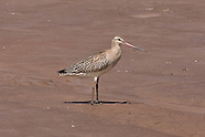 Bar-tailed Godwit photos