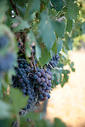 Vineyard grapes in Tuscany, Frommer's Italy Day By Day