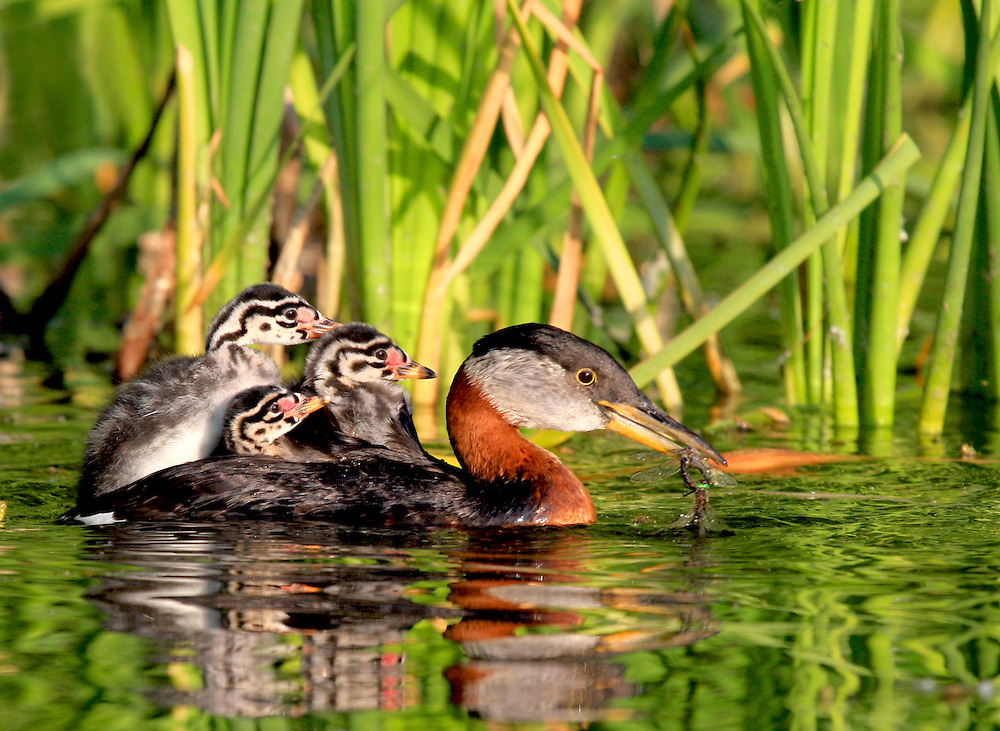 Alaska. Red-necked Grebe (Podiceps grisegena) feeding chicks dragonflies.