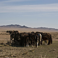 Mongolia. hundred of horses , to fight against the heat , are gathering by families in the steppe near Argalant sum   -