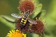 Hoverfly - Helophilus hybridus