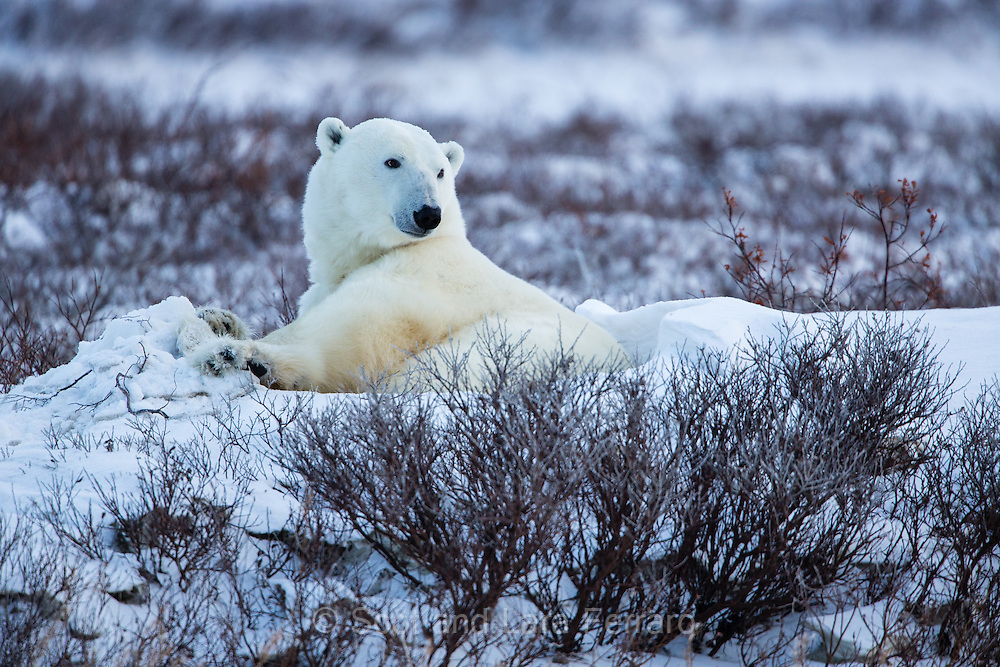 A polar bear (Ursus maritimus) keeps watch from her nest.