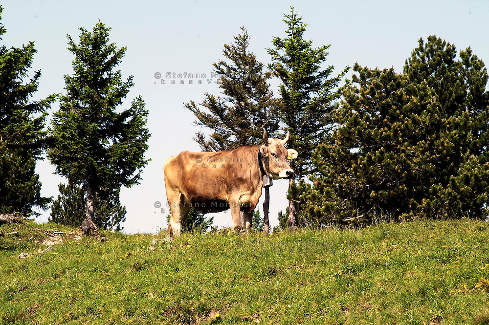 Liechtenstein  Malbun  June 2008.Small town high in the Alpine (southeastern)..The  Brown Swiss cows to the pasture..