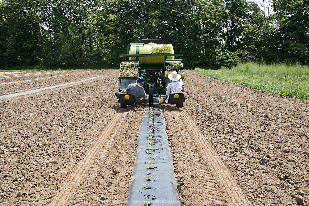 Stock photo of pepper seedlings being transplanted into black plastic mulch in a freshly plowed farm field by 2 farm workers sitting on the back of a tractor that automatically punches holes into the mulch and waters the seedlings after the workers insert the seedlings into the planting hole by hand.