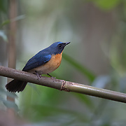 The hill blue flycatcher (Cyornis whitei) is a species of bird in the family Muscicapidae. It is found in southern China and Southeast Asia.
