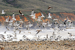 Sea birds take flight on a stormy afternoon in December at Andrew Molera State Park near Big Sur, CA.