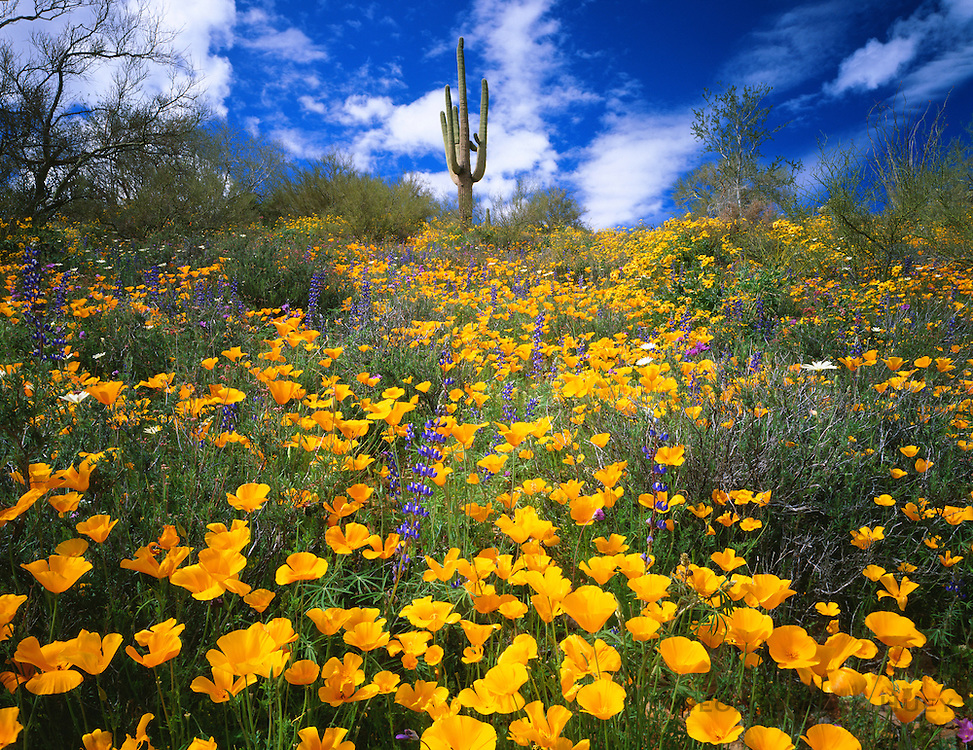 0146-1011E ~ Copyright: George H. H. Huey ~ Poppies and saguaro cactus. Superstition Mountains. Tonto National Forest, Arizona.