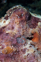 Octopus, like most cephalopods, are capable of changing teh texture and color of their skin to match that of their surroudings.  They have very acute vision.