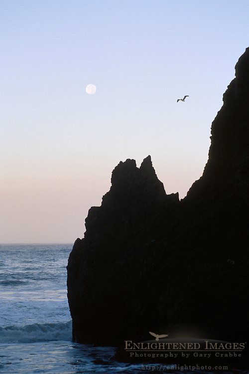 Full moon setting in morning and pelican flying in sky over rock and ocean, Rodeo Beach, Marin Headlands, California