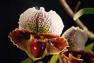 Dark maroon spots and patterns adorn the glossy petals of an exotic slipper orchid flower