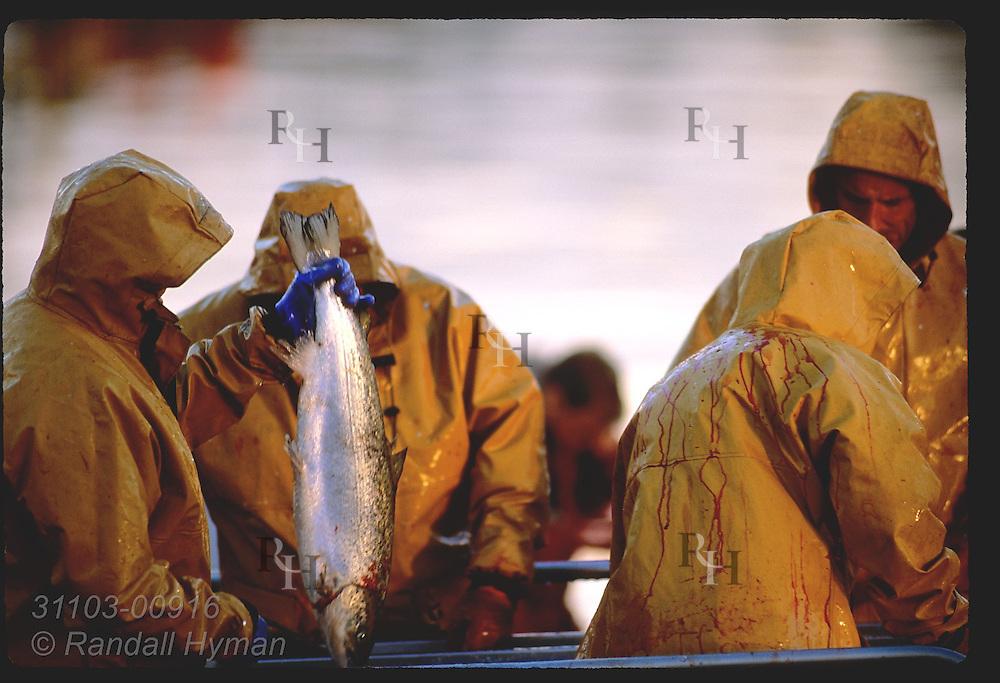 Men in yellow slickers process farm-raised salmon dockside at Castletownbere harbor; Beara Peninsula, Ireland.