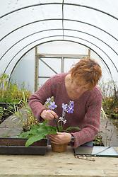 Carol Klein taking leaf cuttings from streptocarpus<br /> Carol removing leaf