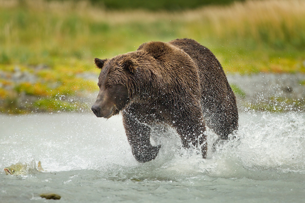 USA, Alaska, Katmai National Park, Coastal Brown Bear (Ursus arctos) chases leaping Chum Salmon  (Oncorhynchus keta) in spawning stream near Kukak Bay