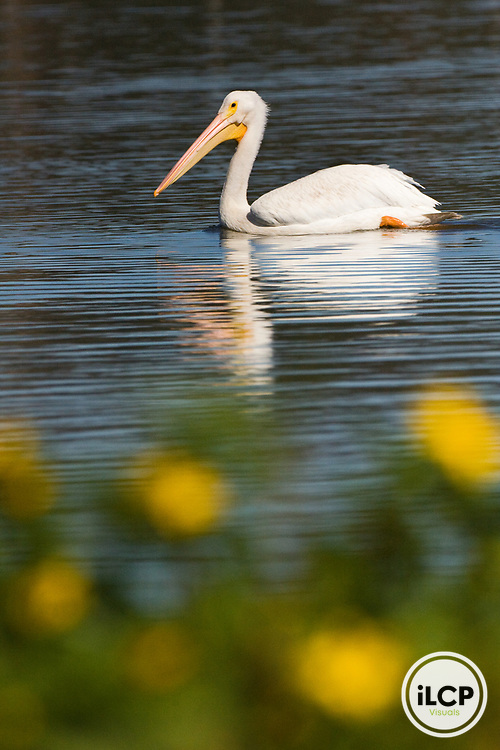 American White Pelican (Pelecanus erythrorhynchos) swimming in slough, Watsonville, Monterey Bay, California