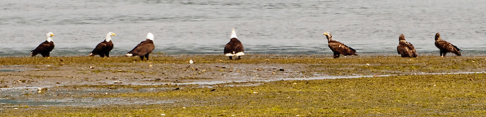 Seven Bald Eagles (Haliaeetus leucocephalus) are gathered in a line at the shore of the Hood Canal of Puget Sound at low tide having a confab with the center mature eagle garnering attention. panorama