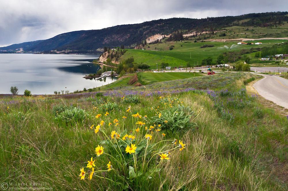 Arrowleaf Balsamroot (Balsamorhiza sagittata) grows in Kekuli Bay Provincial Park on Kalamalka Lake near Vernon, British Columbia, Canada
