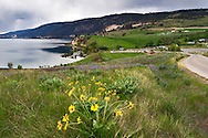 Arrowleaf Balsamroot (Balsamorhiza sagittata) grows in Kekuli Bay Provincial Park on Kalamalka Lake near Vernon, British Columbia, Canada