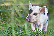 """Kunekune pig, two weeks old, New Zealand.  The word kunekune means """"fat and round"""" in the M?ori language."""