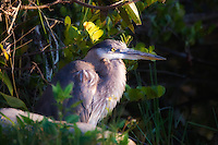A young great blue heron just beginning to get its adult coloration in the Sweetwater Strand in the Big Cypress National Preserve.