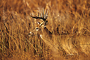 THIS PHOTO IS AVAILABLE FOR WEB DOWNLOAD ONLY. PLEASE CONTACT US FOR A LARGER PHOTO. Whitetail buck in autumn field.