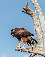 Harris's hawk perched, leaning forward ready to take off, showing long legs that are characteristic of the species, © 2012 David A. Ponton