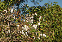 Cotton grows wild in the tropical jungle of the Dominican Republic.