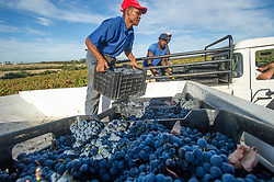 March 6, 2015 - Stellenbosch, Western Cape, South Africa - Stellenbosch, South Africa - , Wine Grape harvest (Credit Image: © Edwin Remsberg/VW Pics via ZUMA Wire)