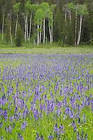 Meadow of Common Camas (Camassia quamash), Grand Teton National Park Wyoming