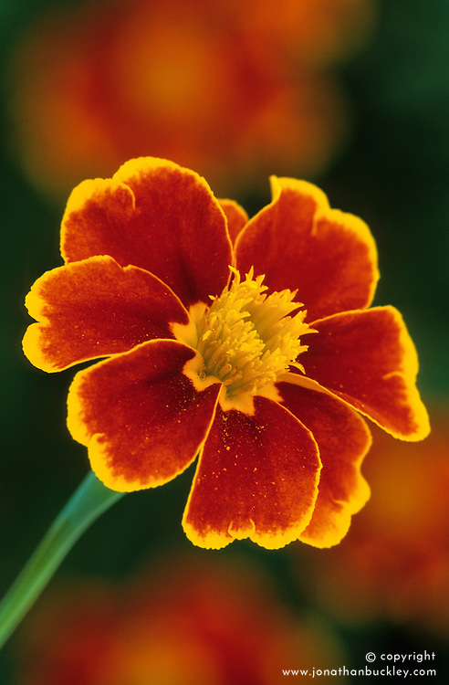 Marigold - Tagetes