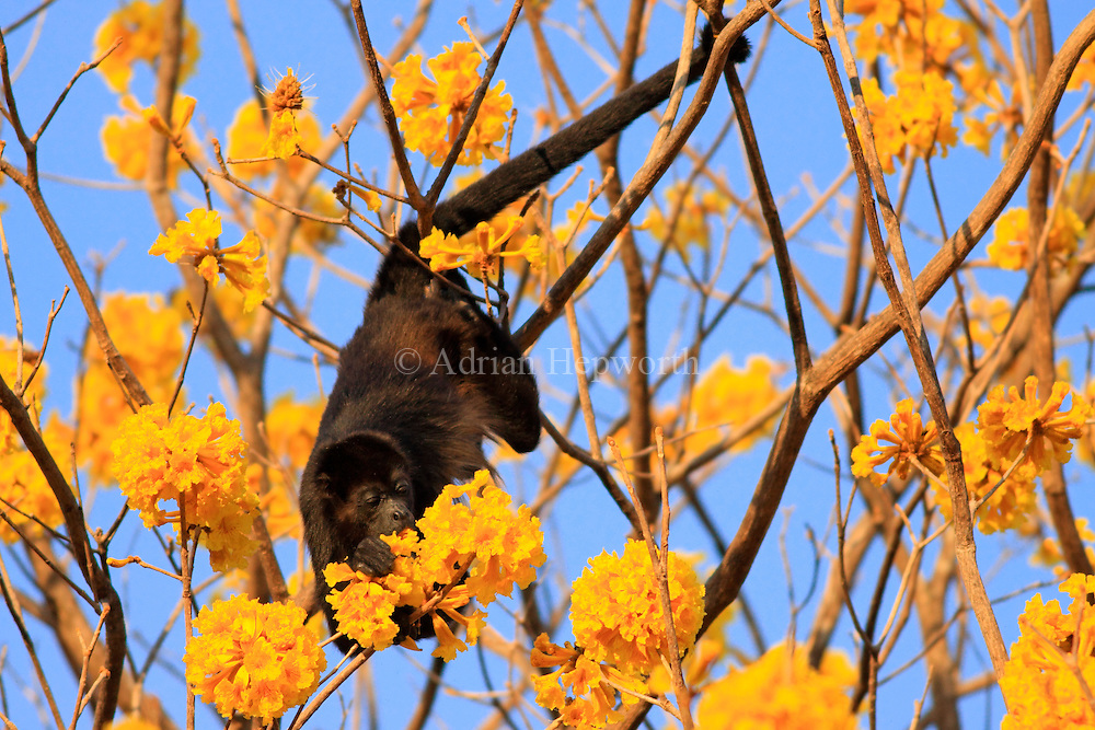 Mantled Howler Monkey (Alouatta palliata) feeding on Yellow Cortez (Tabebuia ochracea) flowers in tropical dry forest near Conchal Beach, Guanacaste, Costa Rica. <br /> <br /> For pricing click on ADD TO CART (above). We accept payments via PayPal.