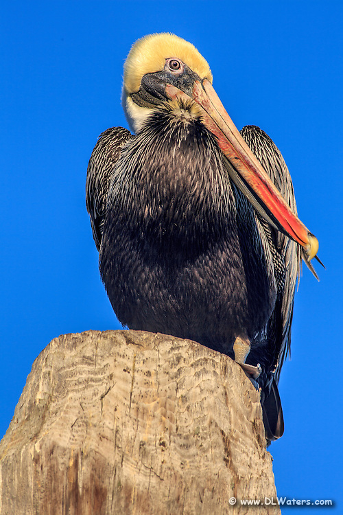 A Brown Pelican in breeding plumage perched  on a piling.
