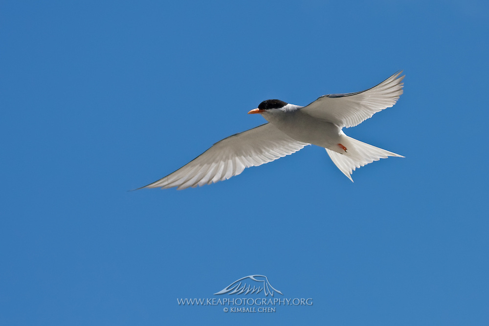 Black-fronted Tern, New Zealand