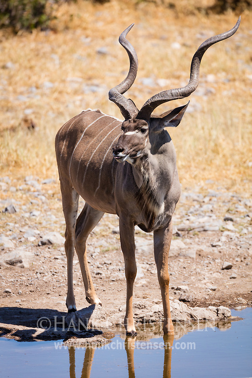 A greater kudu bull visits a waterhole midday, Etosha National Park, Africa.