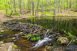 A beaver dam at the Orris Falls Preserve in South Berwick, Maine.