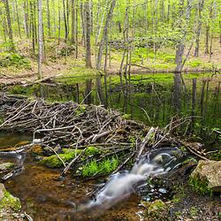 A beaver dam at the Orris Falls Preserve in South Berwick, Maine.