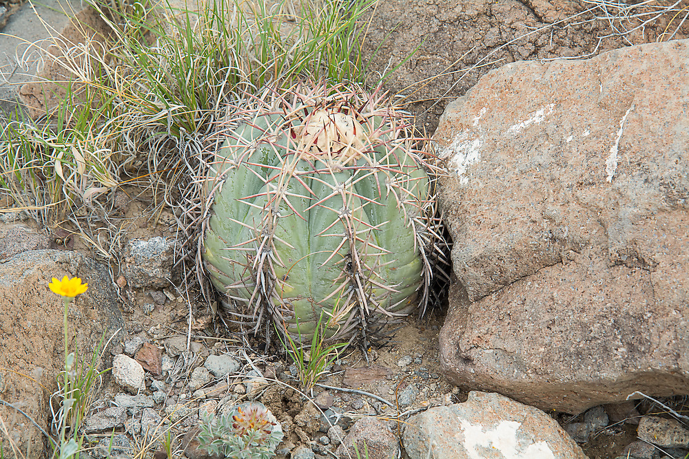 Also known by other other common names such as the devil's-head cactus and horse crippler, this small, extremely slow-growing native cactus of the Chihuahuan and Sonoran Deserts is found in Southern Arizona and New Mexico, Western Texas and can be found in the wild as far south as Mexico City. This cylindrical cactus is usually found alone, rather than in clusters and is believed to live to 75-100 years! The dense, wooly-haired mass at the top of this eagle claw cactus will produce a large 2-3 inch pink flower by the end of each summer. This particular cactus was found and photographed in Big Bend National Park in Brewster County in Western Texas in mid-April.