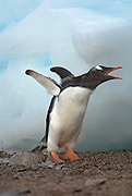 Gentoo chick throwing it wings back and calling out perhaps to a calling parent with ice in the background. .