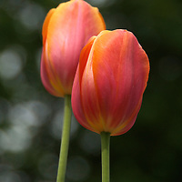 Tulips are spring blooming perennial flowers which grow from bulbs.  These two red, orange and pink tulips were photographed in Hartland, Wisconsin.